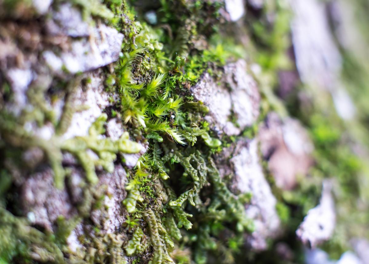 Mousse sur un tronc d 39 arbre cyril duc photographe - Mousse sur les arbres ...